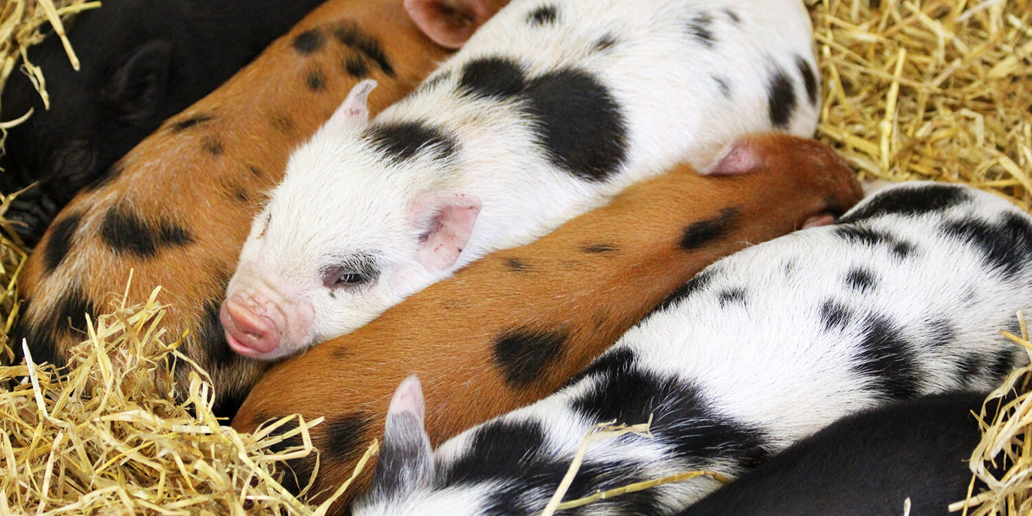 Blackberry Farm Park - Piglets on hay