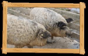 Oxford Sandy & Black Pigs