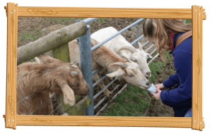 Saanen and Toggenburg Cross Goats